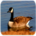 Download Goose sounds APK